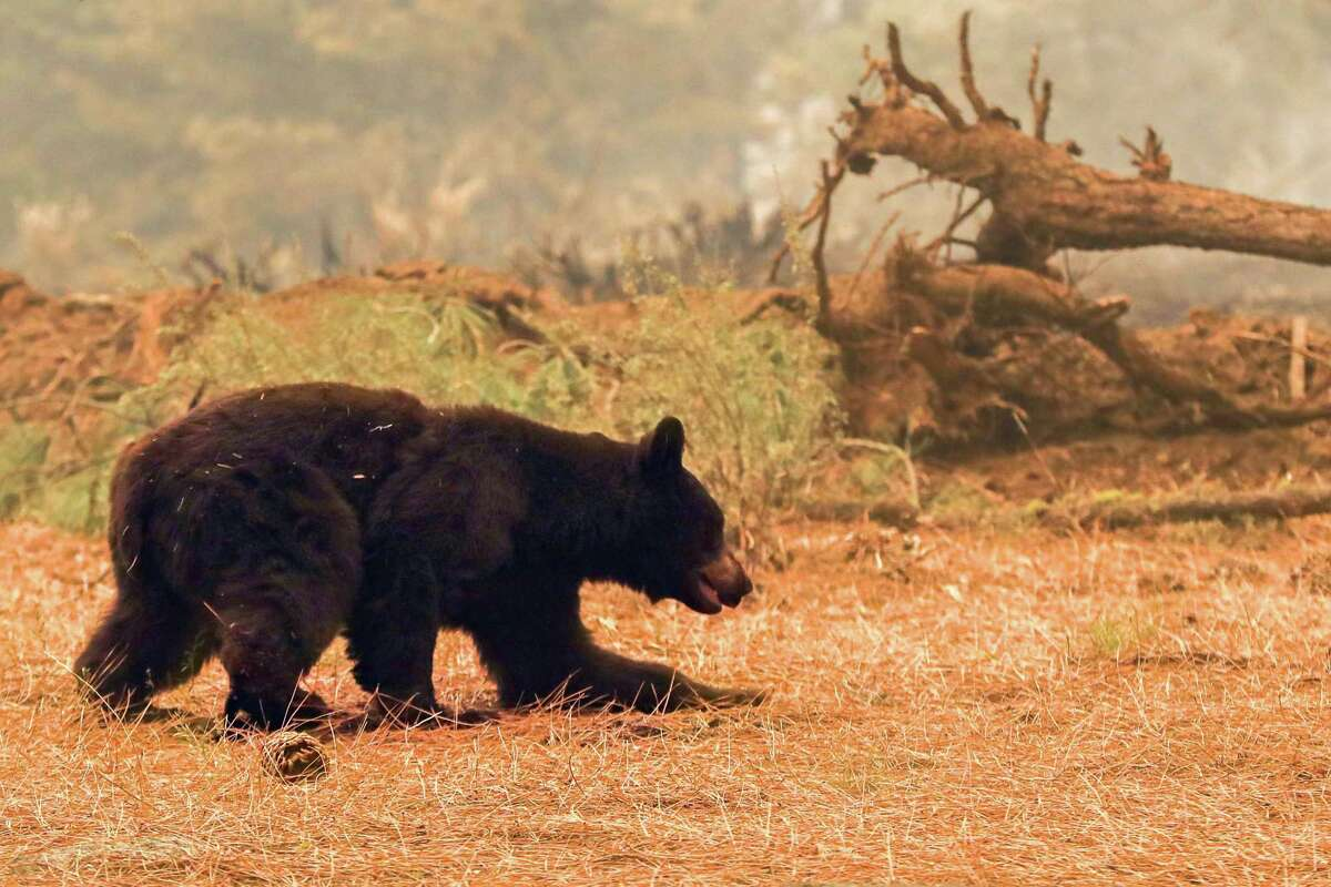After flames from the Caldor Fire ripped through part of neighborhood, an injured black bear struggles to walk while bedding down behind a home off of Pinewood Drive in Meyers, Calif. on Tuesday, Aug. 31, 2021. The bear was reported by fire fighters after they noticed its paws had been burned.