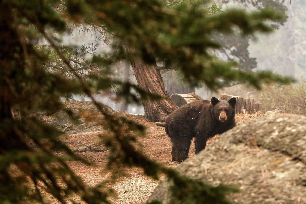 An injured black bear walks behind a home in a neighborhood off of Pinewood Drive after escaping flames from the Caldor Fire in Meyers, Calif. on Tuesday, Aug. 31, 2021. The bear was reported by fire fighters when they noticed its paws had been burned.