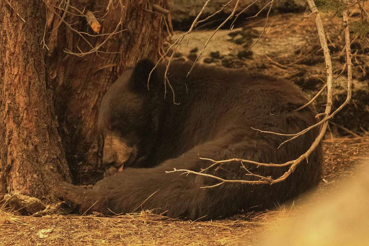 An injured black bear licks its burned paws after it was found by a Wildfire Defense Systems crew behind a home on Pinewood Drive during the Caldor Fire in Meyers, Calif. on Tuesday, Aug. 31, 2021.