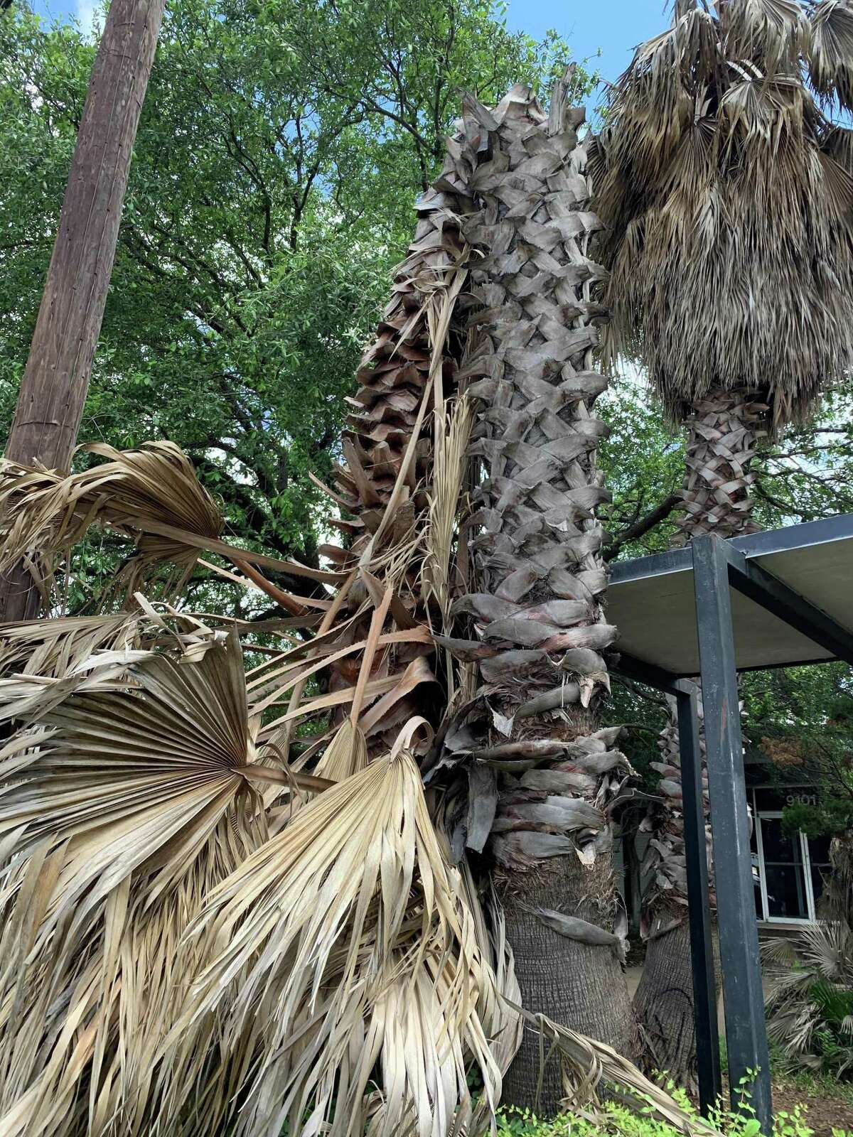 These tall palm trees seemed to be recovering from the freeze until they suddenly died, bending over near the top.