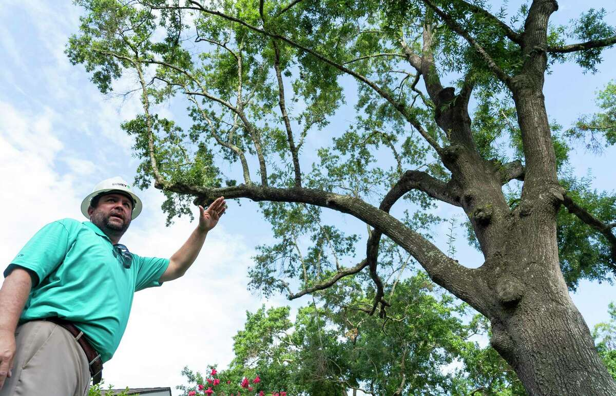 """Matthew Petty, with Davey Tree Expert Company, talks about the various signs of a """"zombie tree"""" on Thursday, July 22, 2021, in Houston. Usually a tree is initially weakened by a stressor, such as construction or an event like this winter's freeze, which makes it more susceptible to fungus and bugs that feed on the dying tree. The tree can appear healthy from below, but the branches are weakening and dying inside, according to Petty."""