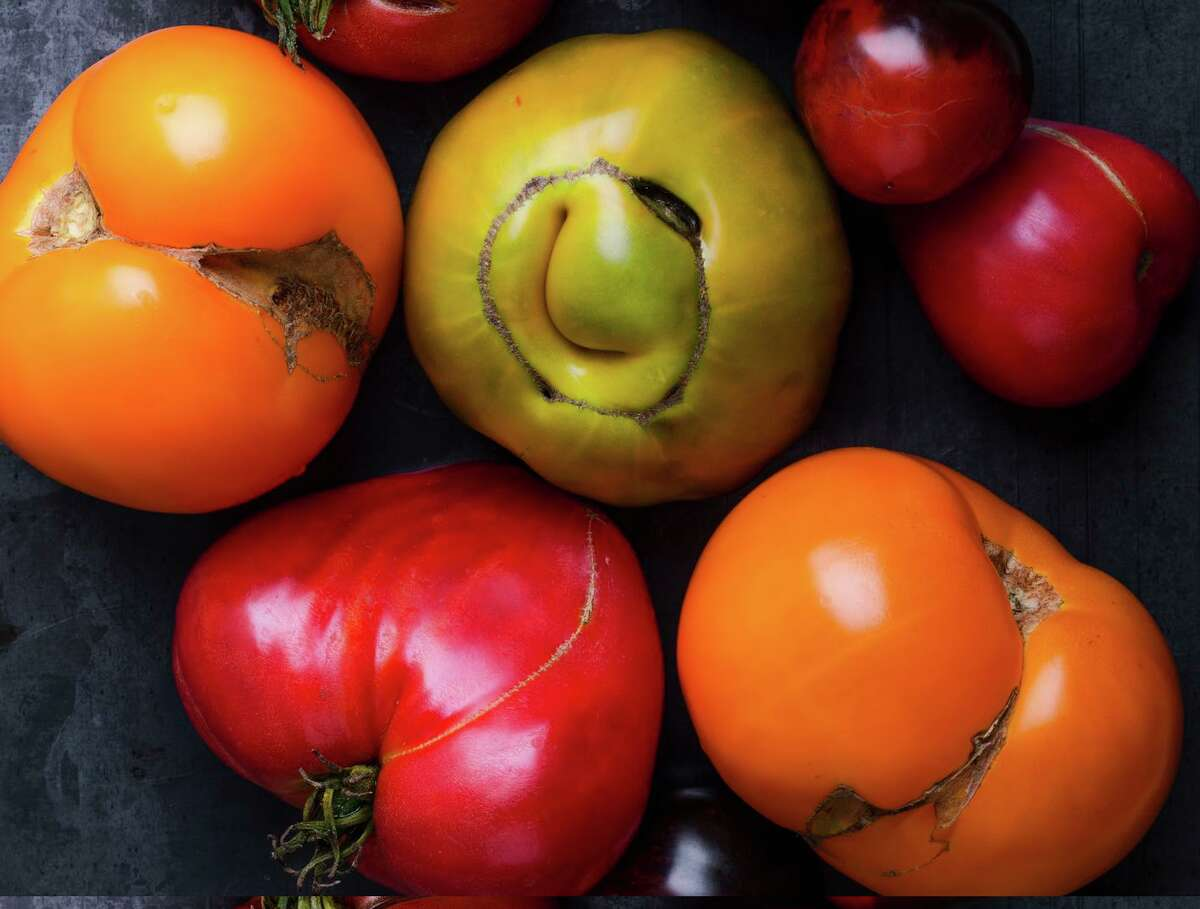 """Tomatoes that set fruit in cool, damp weather can show """"catfacing."""""""