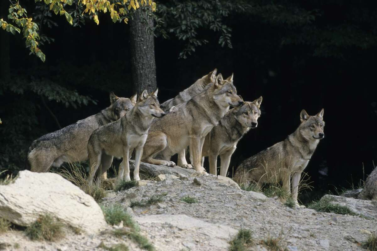 FILE- Pictured is a pack of gray wolves.