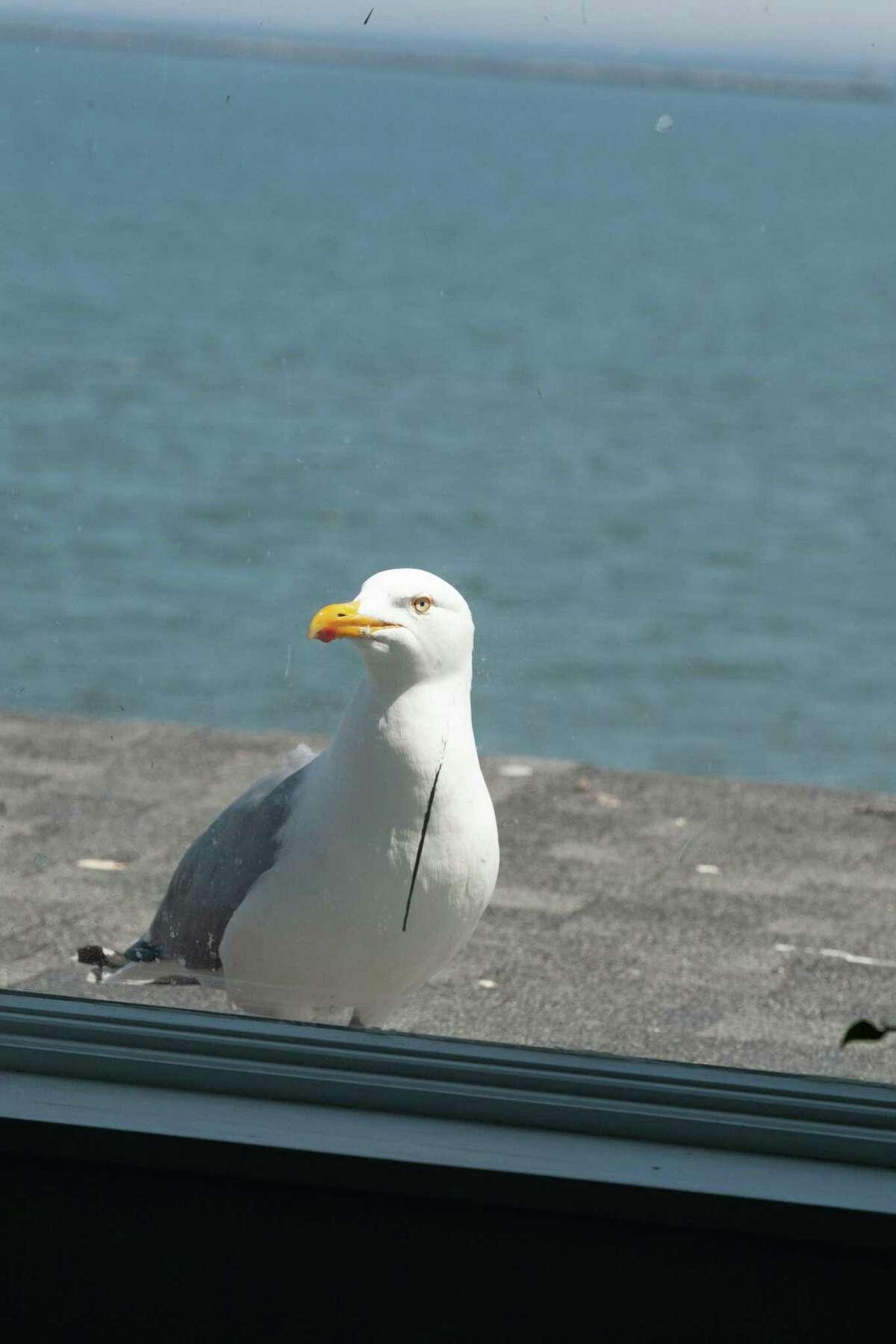 Smeagull at the Sliding Glass Door