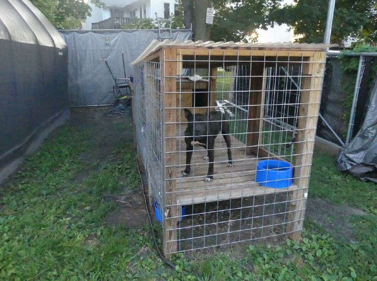 Eight pit bulls were found in the backyard of a Meriden property. Officials believe they were abused in a multi-state dog fighting ring.