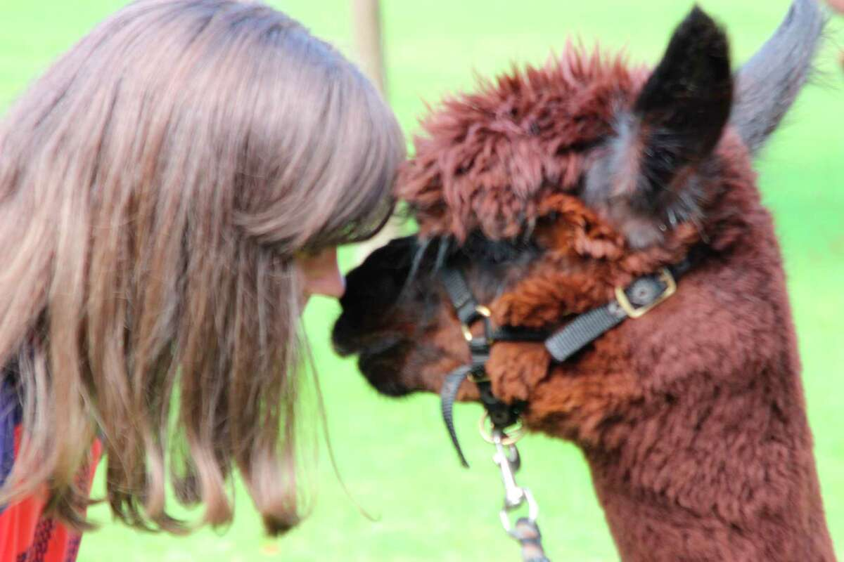 Alpaca Farm Day will be held on Sept. 11 at the Crystal Lake Alpaca Farm. (File Photo)
