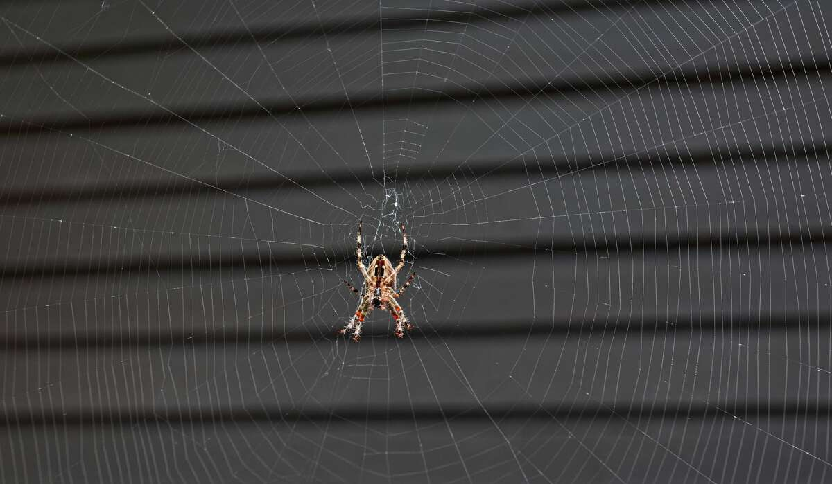 An orb weaver spider at the center of its web in Portland, Oregon.