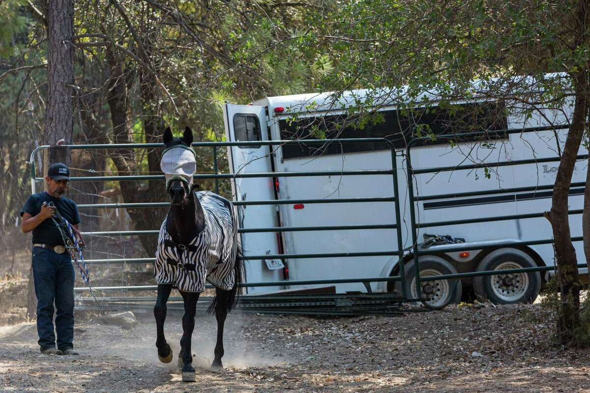 Joe Pimentel leads one of his horses to a corral at his home in Fair Play after bringing them home from the Amador County Fairgrounds.
