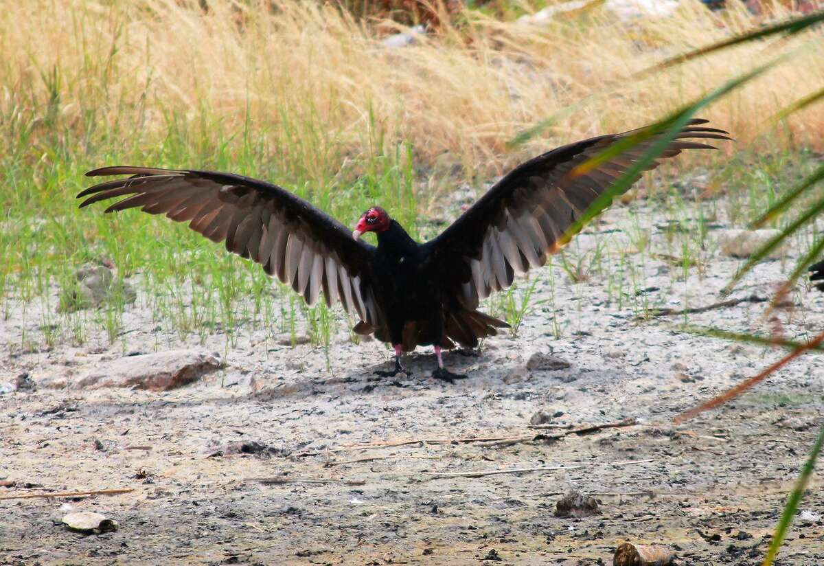 While not the prettiest of birds, the turkey vulture provides a valuable service in helping to clear areas of carrion.