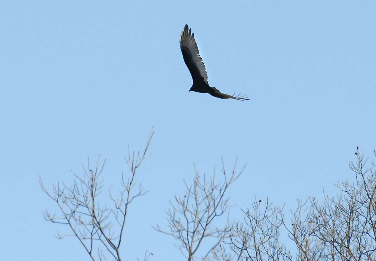 A turkey vulture glides over the treetops above the Merritt Parkway in New Canaan near exit 37 in December 2009.