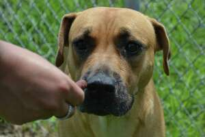 Red awaits adoption at Beaumont Animal Care.