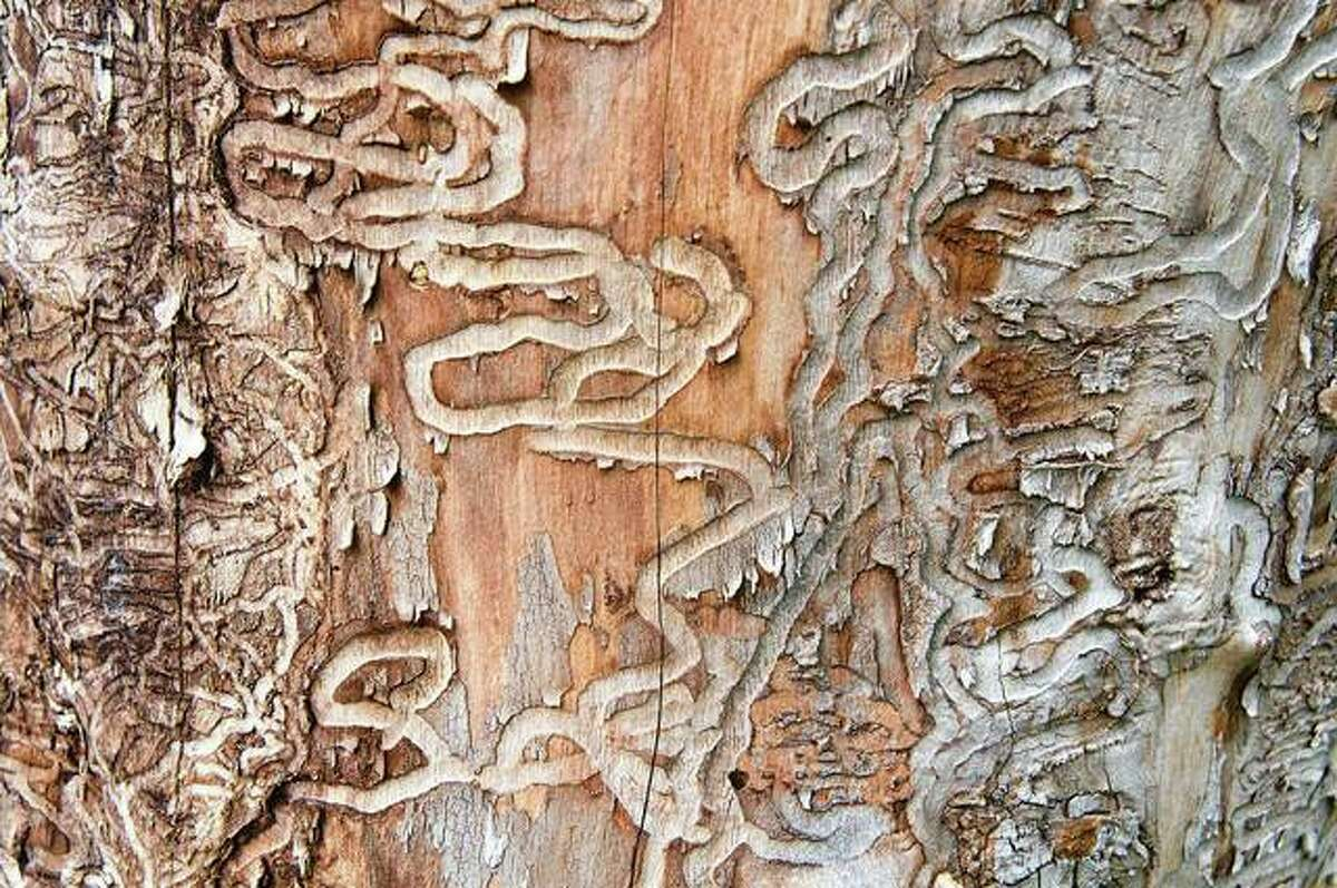 Traces of the emerald ash borer can be seen on the trunk of a dead ash like a death sentence for the tree, written under the bark. The emerald ash borer is a non-native invasive insect from Asia; the green beetle, accidentally introduced by overseas shipping containers into the U.S., spread through the Midwest and threatens to kill most of the ash trees in North America.