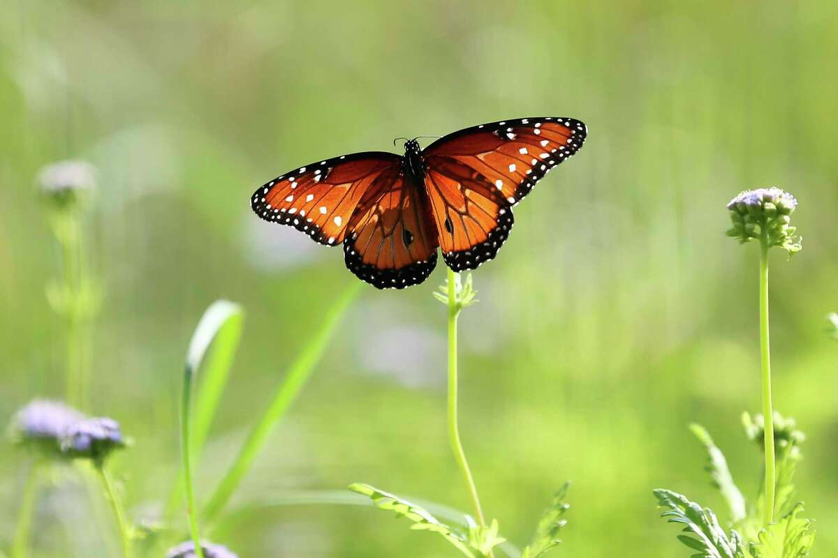 A queen butterfly feeds on flowers at the Edwards Aquifer Conservancy Field Research Park by Morgan's Wonderland Camp on Wednesday, Sept. 1, 2021. A team of researchers is working on ways to improve water and soil quality through land management at the 151-acre site.