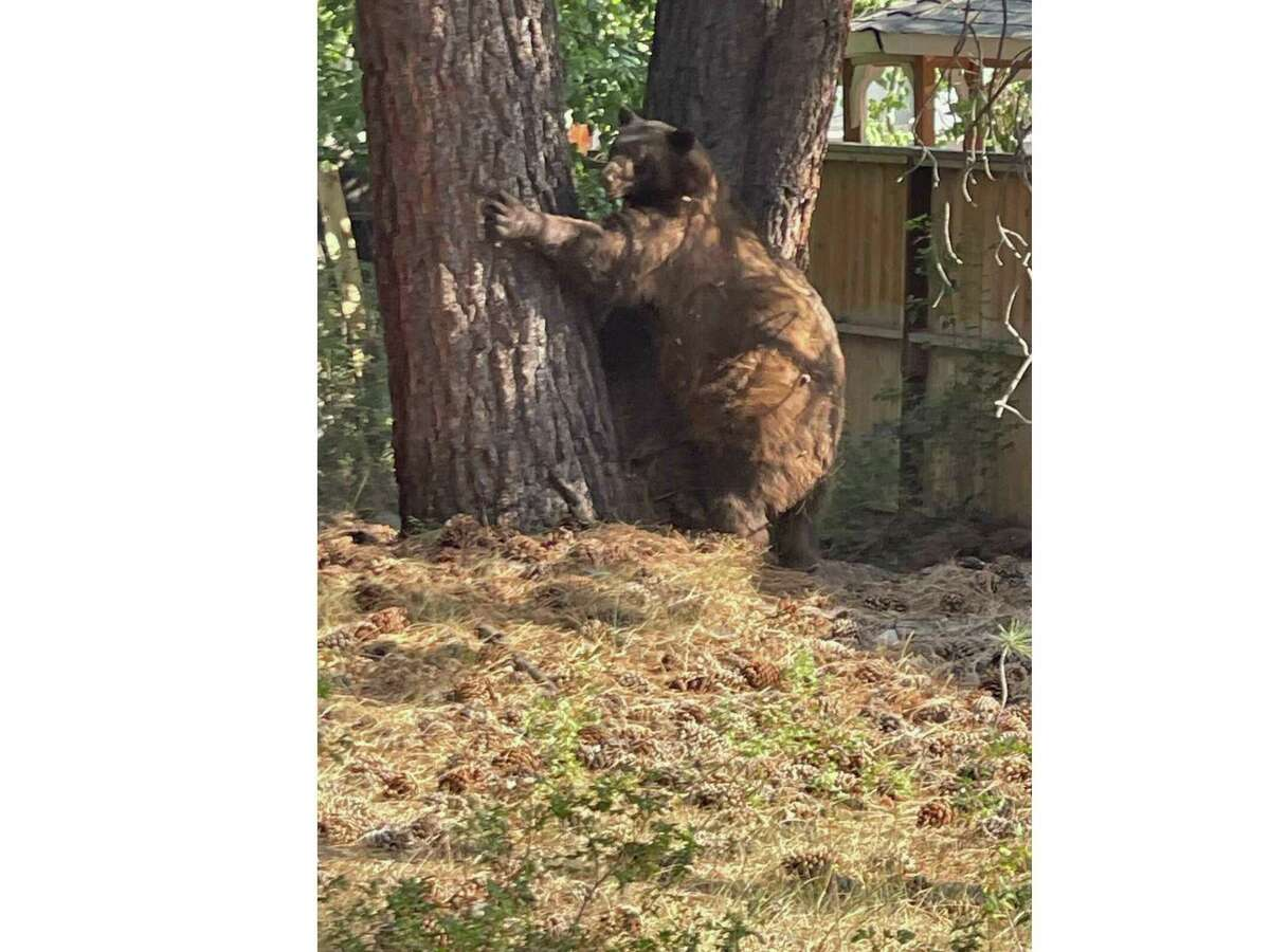 While residents were evacuating from the Caldor Fire in South Lake, bears went exploring.