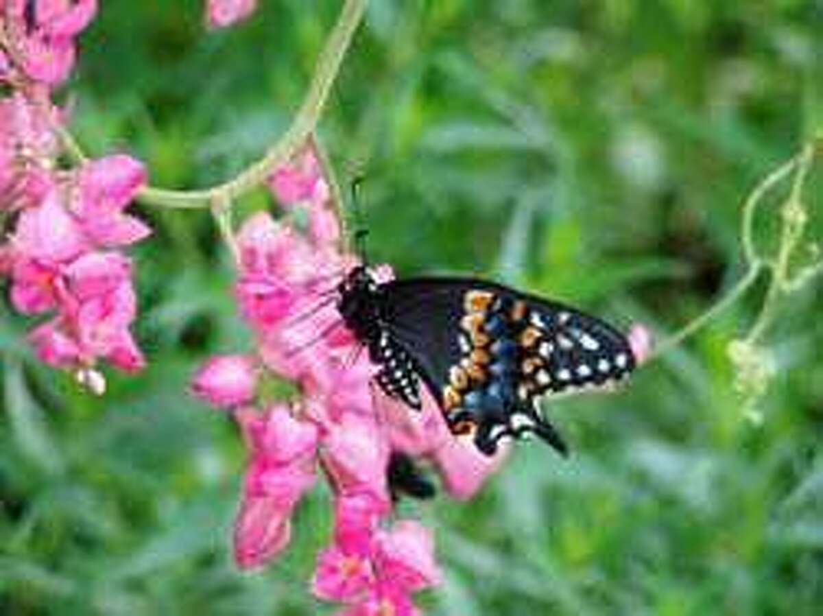 Coral vine attracts butterflies.