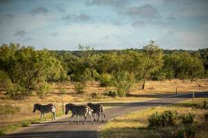 Zebras call the ranch home and can be hunted for a fee.