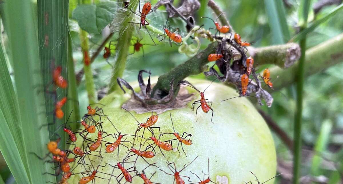 These are immature leaf-footed bugs (Leptoglossus pyllopus), close relatives to stinkbugs.