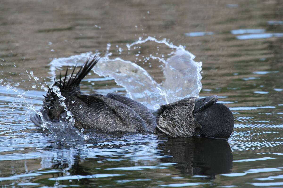 Musk duck (Biziura lobata), exhibiting typical courtship behaviour of splashing and inflating the large leathery lobe beneath its bill. Bunbury, Western Australia. (Photo by Auscape/Universal Images Group via Getty Images)