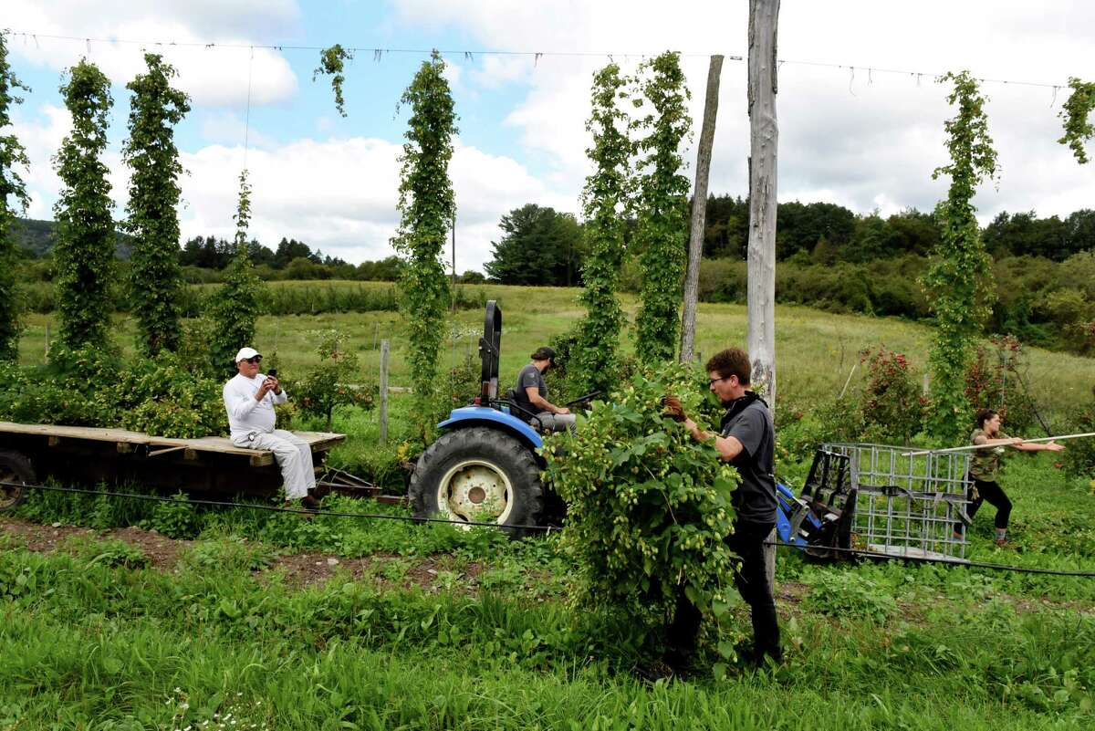 Alex Gill carries a string of hops during harvest at Indian Ladder Farms Cidery & Brewery on Tuesday, Sept. 7, 2021, in Altamont, N.Y. Flowers from the climbing plant are used in beer making to add flavor and stability.