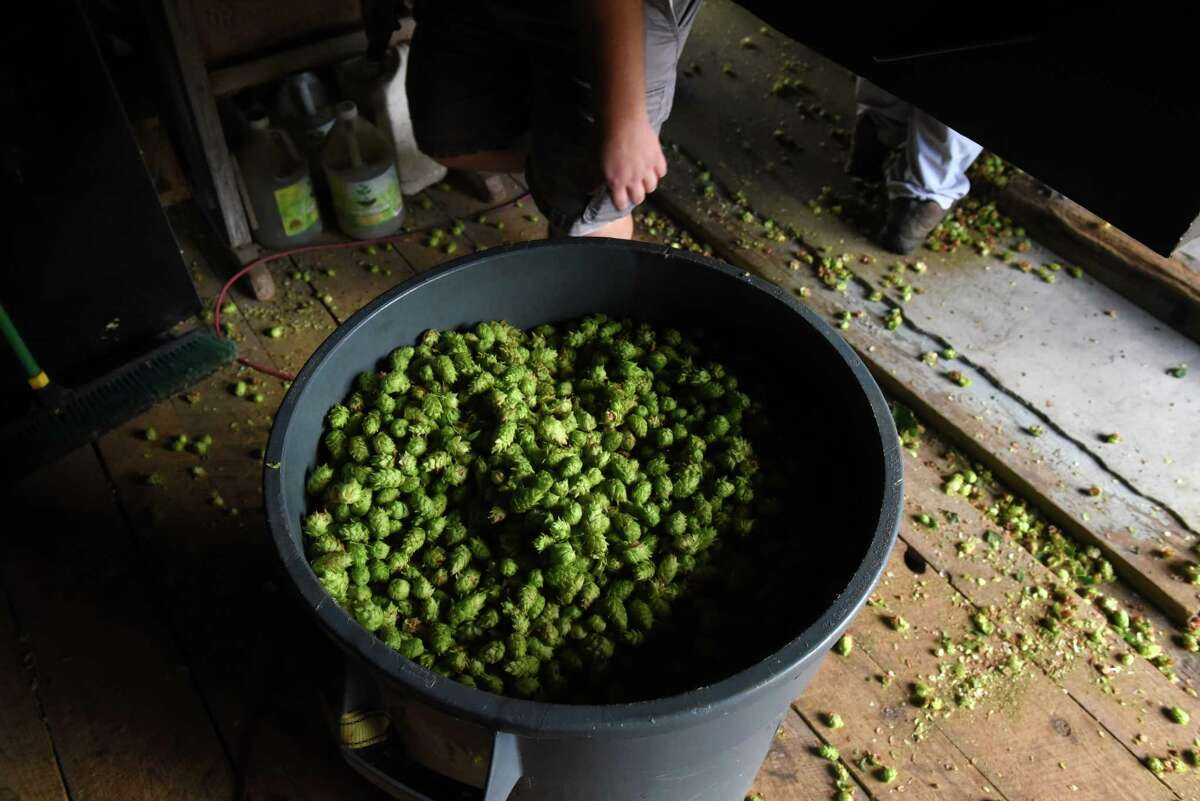 Nugget variety hops are collected after being processed at Indian Ladder Farms Cidery & Brewery on Tuesday, Sept. 7, 2021, in Altamont, N.Y. Flowers from the climbing plant are used in beer making to add flavor and stability.