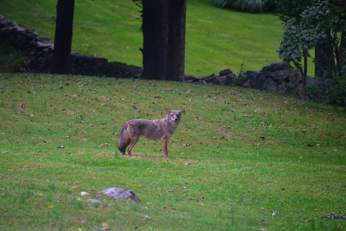 A file photo of a coyote sighting in New Canaan, Conn., back in 2018. Police in nearby Norwalk on Tuesday, Sept. 7, 2021, said they were told by a state agency there have been sightings of two coyotes in the area of Flax Hill Park.