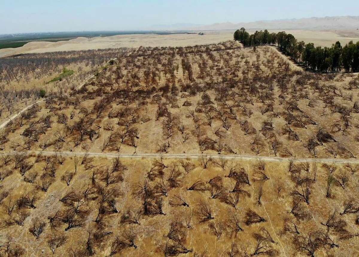 In this aerial photo is an abandoned almond orchard in Newman in July. Some farmers are abandoning crops that need a lot of water because of the drought.