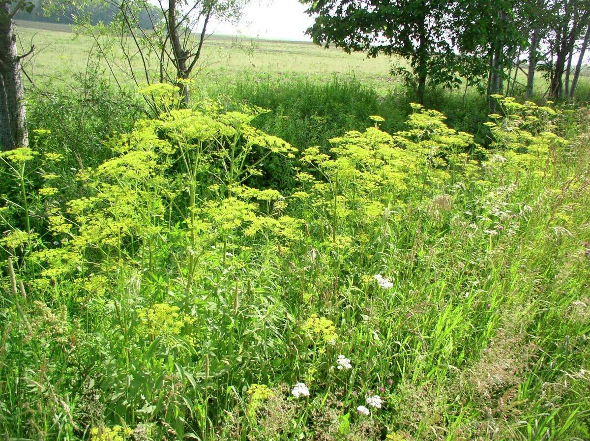In late spring,wild parsnip produces cluster of tiny yellow flowers that grow in an umbrella shape. (Submitted photo)