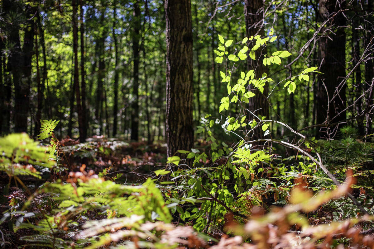 Leaves are illuminated by sunlight Wednesday, Sept. 8, 2021 at Midland City Forest. (Katy Kildee/kkildee@mdn.net)