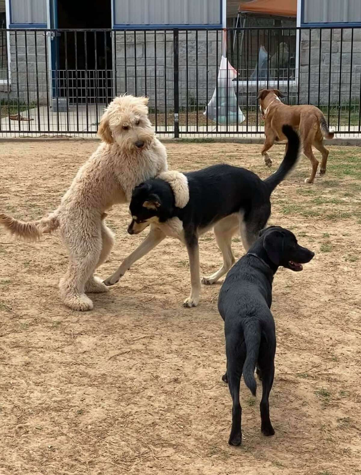 Dogs frolic in a play area at Pets Gone Wild.