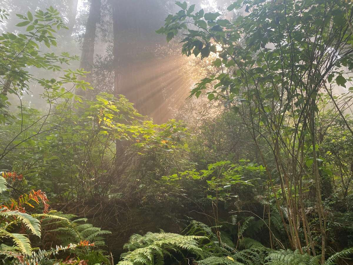 The rays of light become spectacular when filtered through the trees and combined with the coastal fog.