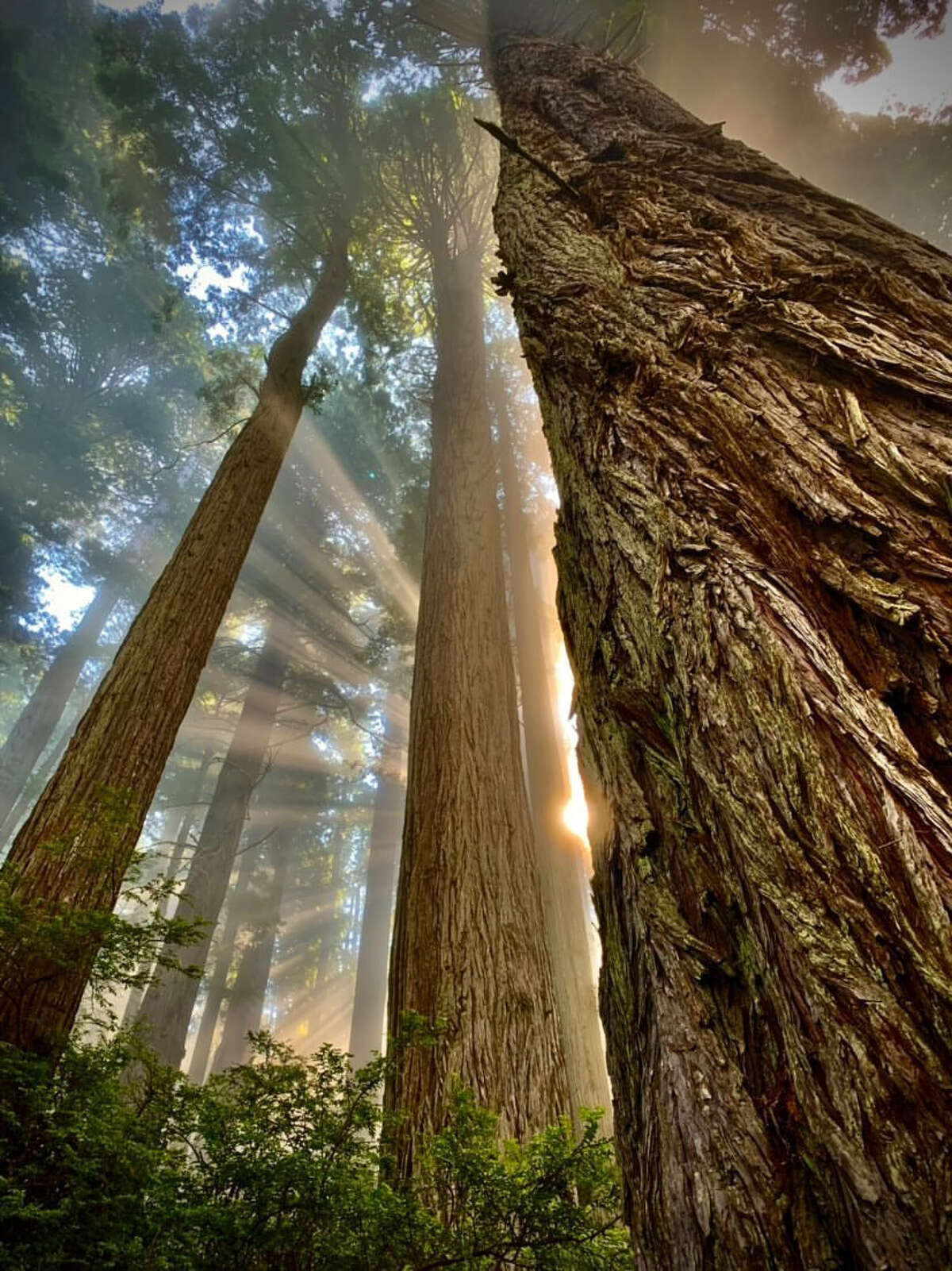 The winding trunks of the sequoias are gray-white by the salty air near the coast.