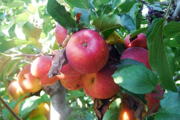 Clearview Organic Orchards - 646 Trabing Rd, Watsonville, CA 95076 Picking season starts Sept. 11 - Oct. 31. Five dollar advanced tickets are required and good for one car and up to eight people. You can purchase on the orchard's website. Open from 9:30 a.m. to 4 p.m. The orchard has organic Fuji, Gala, Honey Crisp, and Mutsu apples as well as fresh-pressed organic apple juice and fresh-baked apple turnovers.