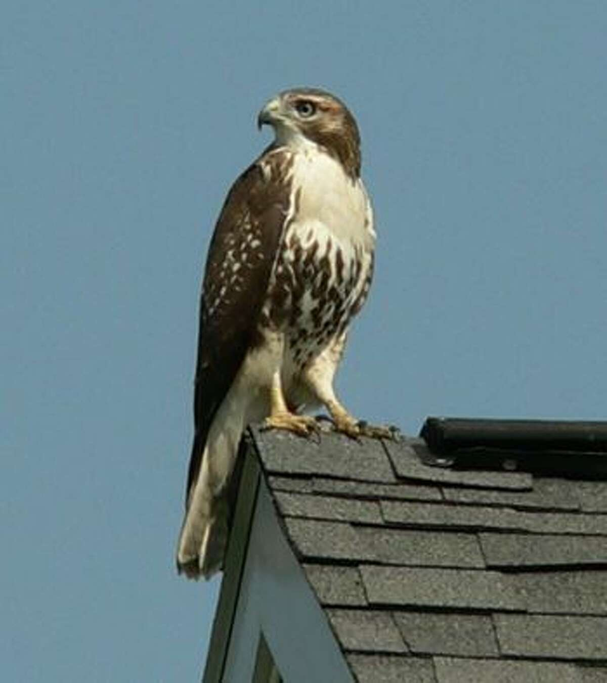 This broad-winged hawk was taking a break atop a Saratoga County home.