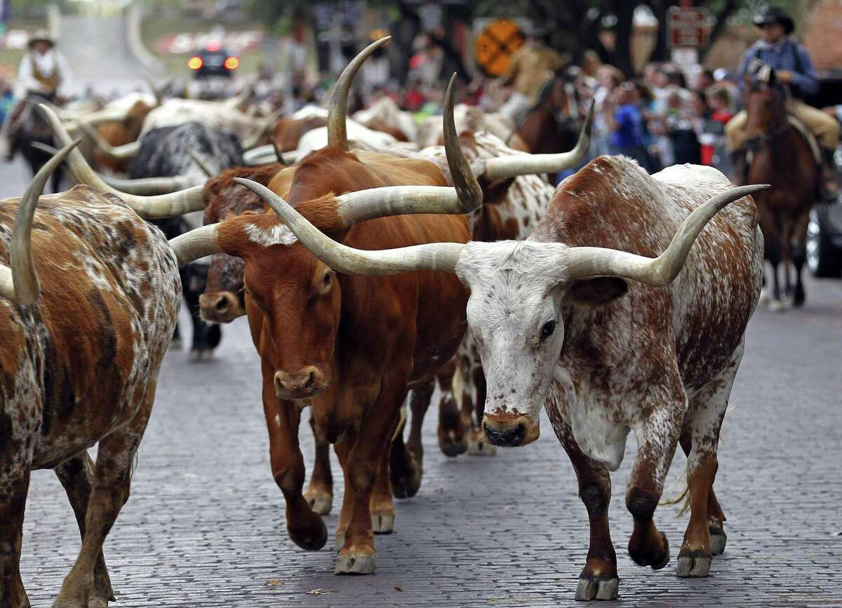 Modern-day drovers drive the Fort Worth Herd along East Exchange Avenue in Fort Worth twice a day.