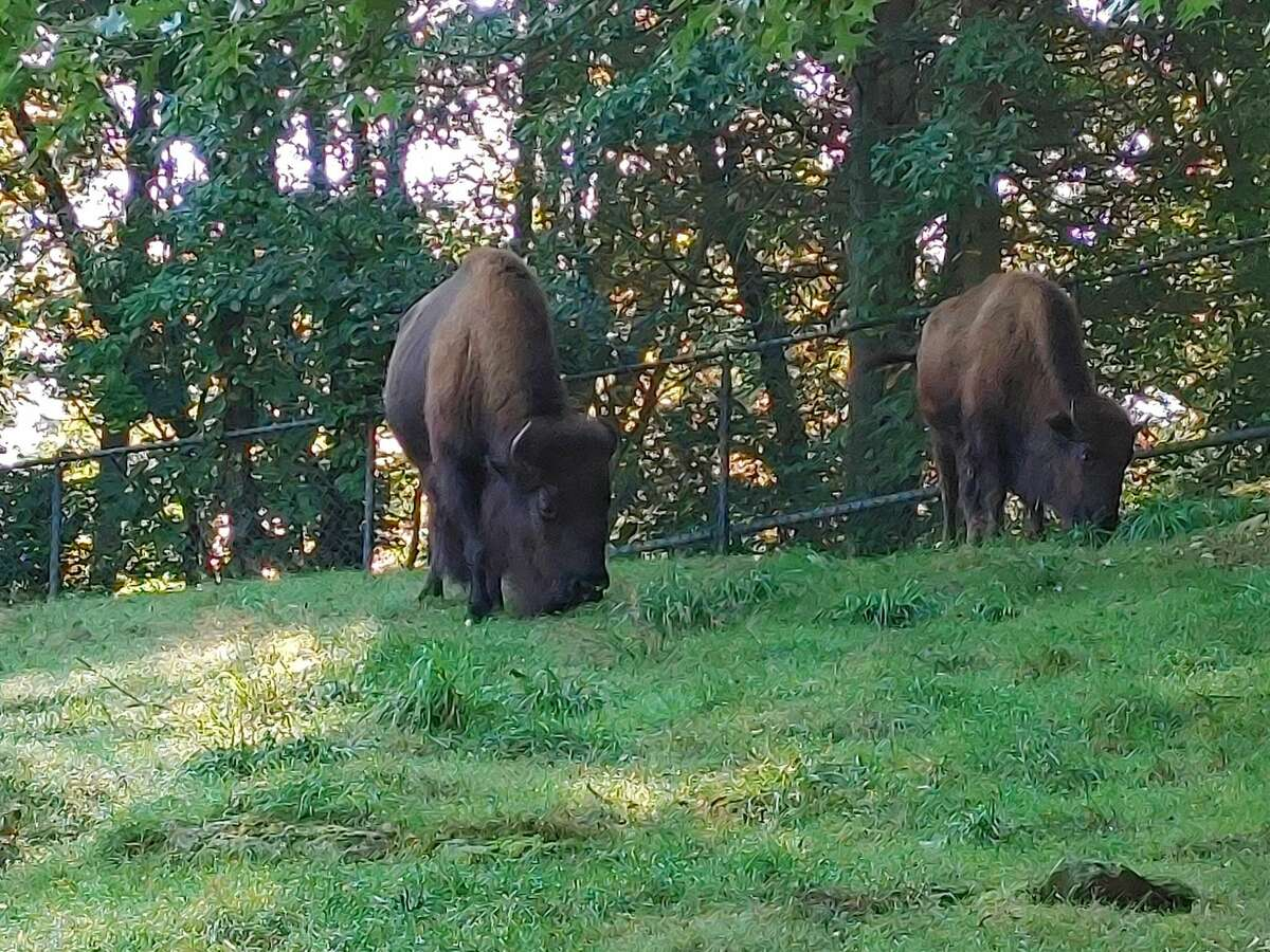 Beardsley Zoo in Bridgeport, Conn. welcomed two new bison - mother and daughter duo Clara and Eleanor - in September 2021.