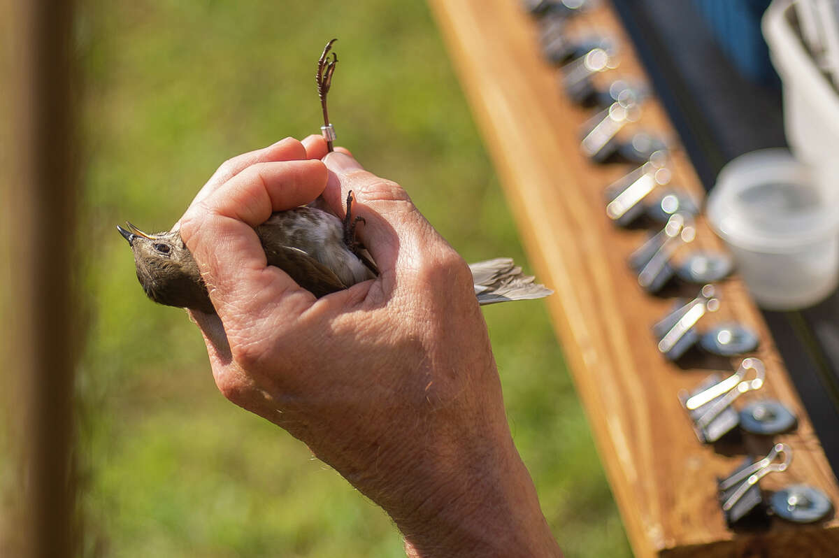FILE - Researcher Mike Bishop talks about the gray-cheeked thrush he holds in his hand as Chippewa Nature Center staff catch resident and migratory birds in mist nets and band them for research Friday, Sept. 10, 2021 at the Nature Center's east Wetlands Area.