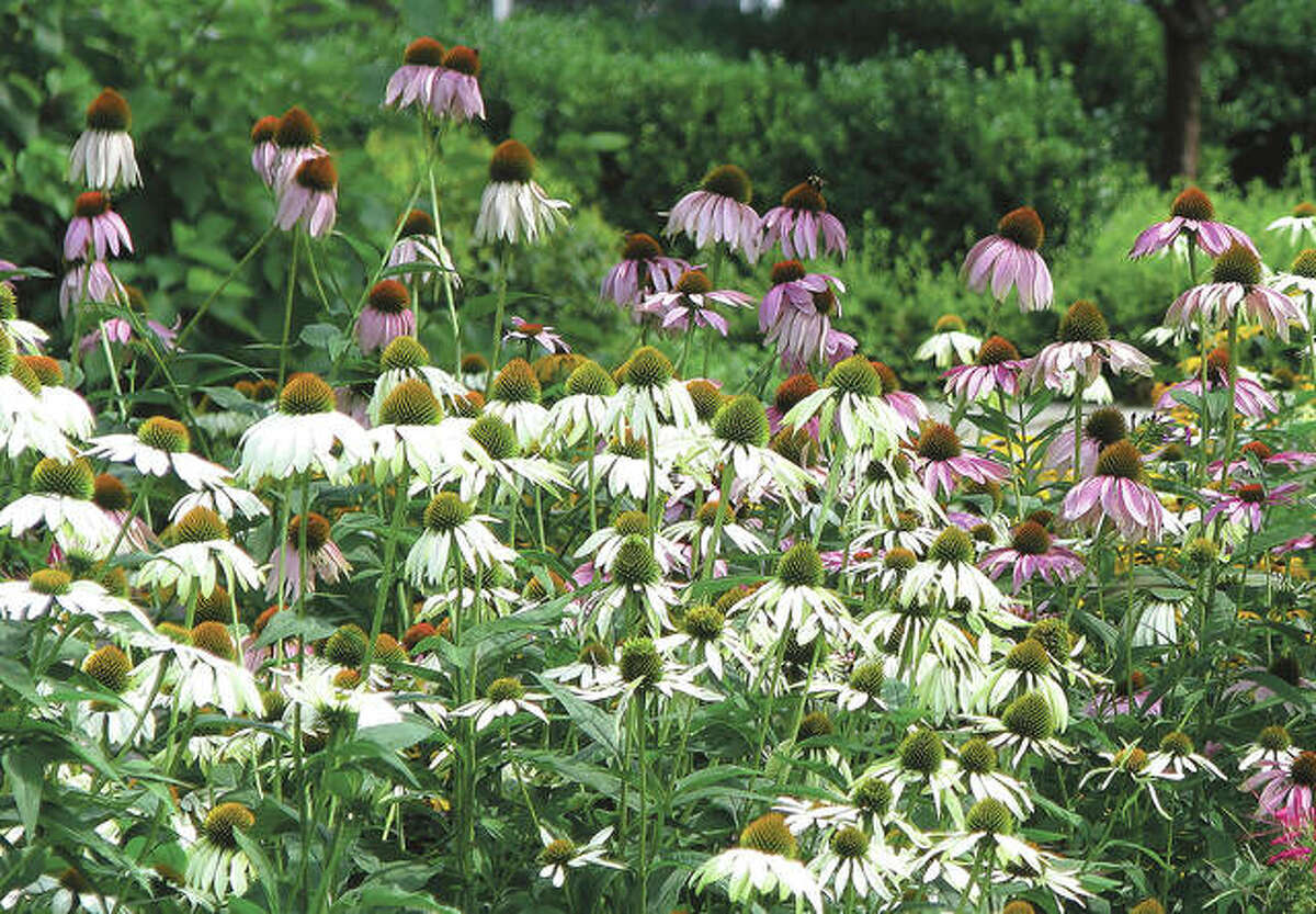 Echinacea is one of many flowers that grow well in dry summers.