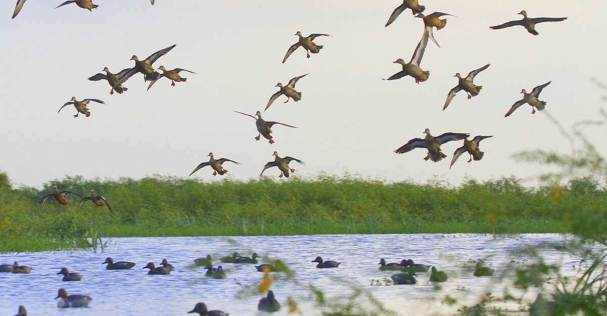 Blue-winged teal, like these tumbling into a decoy spread on a Texas coastal wetland, are open season beginning today.