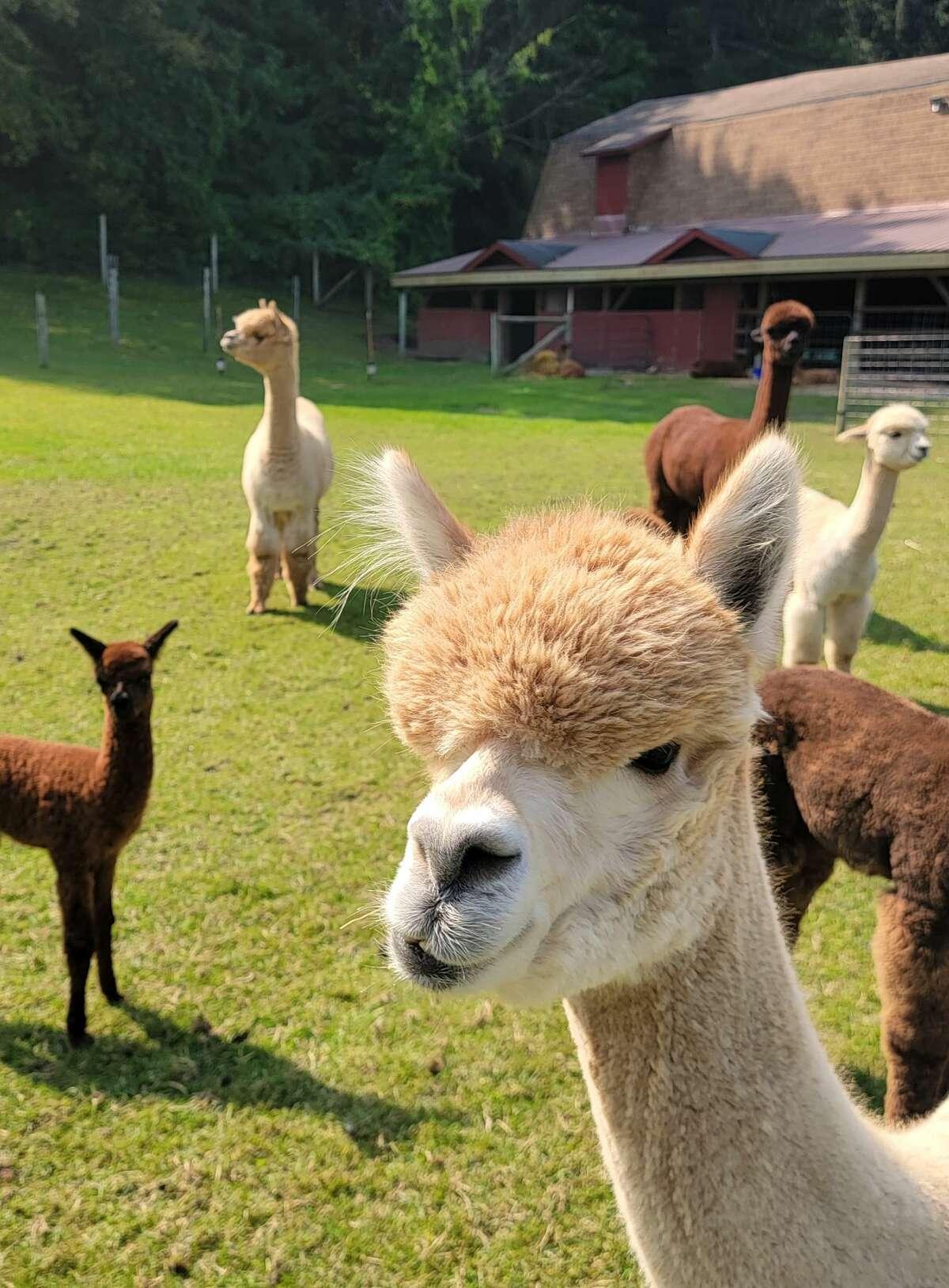 Visitors got a closer look at the alpacas at Crystal Lake Alpaca Farm on Saturday.