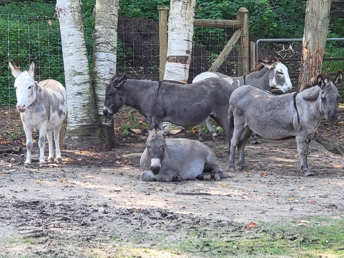 Mini-donkeys lounge in the shade at the petting zoo at Crystal Lake Alpaca Farm.