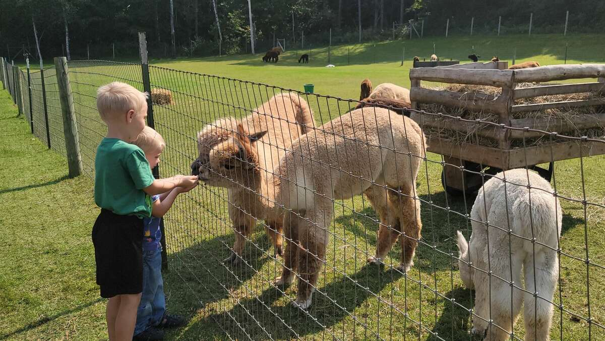 Some young visitors to the Crystal Lake Alpaca Farm on Saturday feed the alpacas.