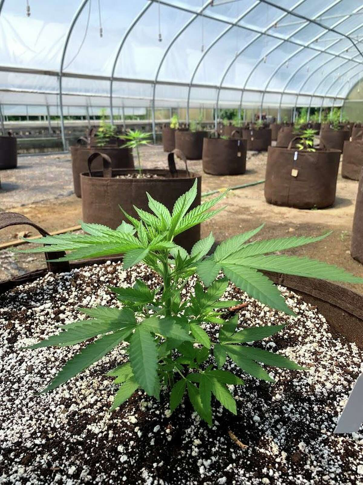 A hemp plant is shown in the greenhouses at Running Brook Farms in Killingworth. The farm just receved a $5,918 USDA rural development grant, which will be used to make energy efficiency improvements with the purchase and installation of LED lighting.