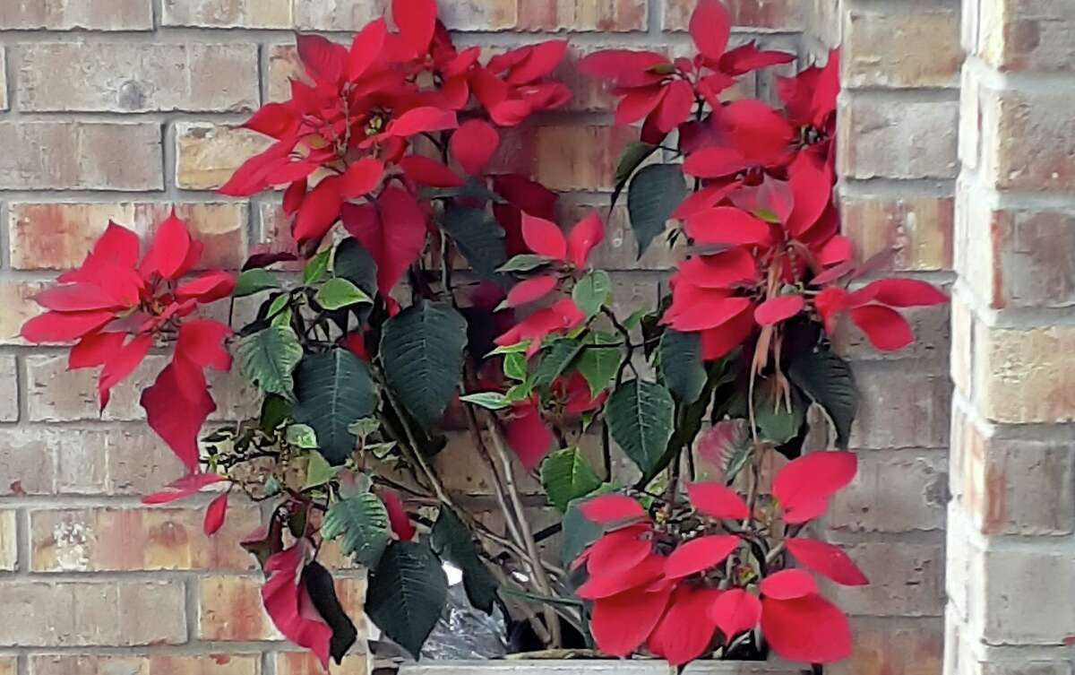 To get poinsettias to bloom again, they need total darkness for 14 hours each night and 10 hours of bright light each day starting Oct. 1.
