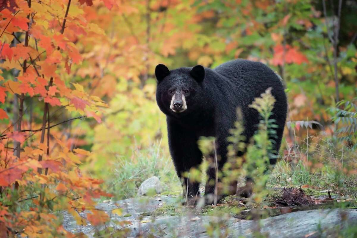 The Gladwin hunting season runs from Sept. 12 through Sept. 20, and the entire archery-only season lasts from Oct. 8-14 and is for hunting with bait or other methods that do not include dogs. (Photo courtesy of Getty Images)