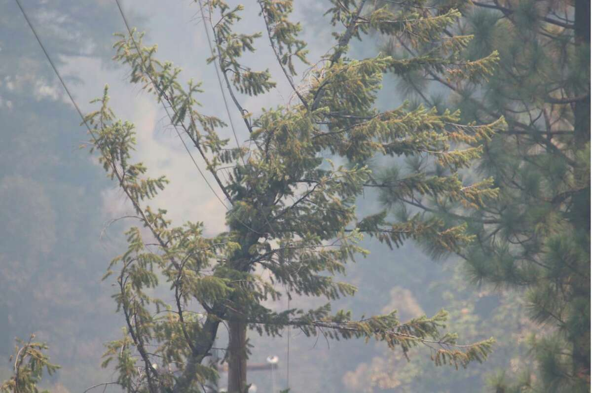 A fir tree leaning on a PG&E power line in the area where the Dixie Fire started in the Feather River Canyon on July 13.