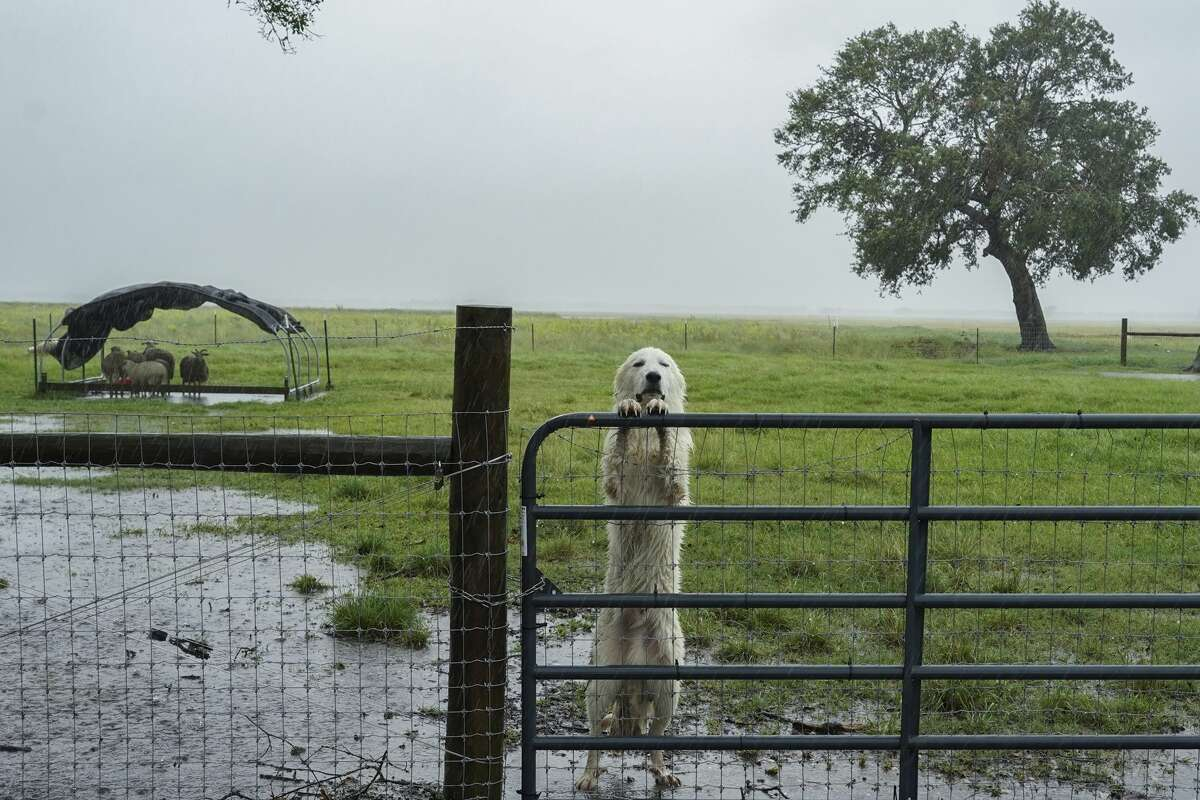 FILE - A dog looks out from behind a fence during a rain storm as Hurricane Delta approaches on October 9, 2020 in Jennings, Louisiana. (Photo by Go Nakamura/Getty Images)