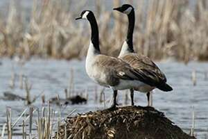 Several waterfowl seasons started for Manistee County's region on Sept. 1. The season dates, bag limits and regulations can be found in the Waterfowl Digest at Michigan.gov/DNRDigests.(Courtesy photo/Department of Natural Resources)