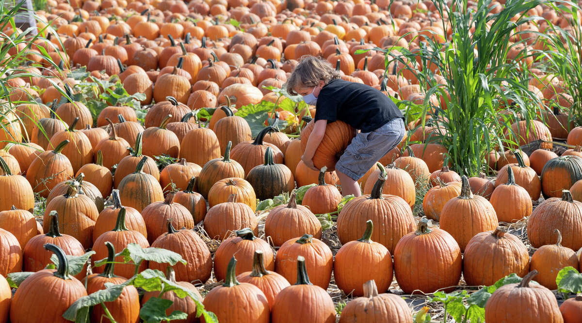 Boonies Farm in Worden opens for the fall season on Sept. 18 and offers a pumpkin patch as well as a corn maze and a chance to encounter farm animals. The farm also offers a pumpkin/gourd cannon and a bounce pillow. (File photo by Paul Bersebach/MediaNews Group/Orange County Register via Getty Images)