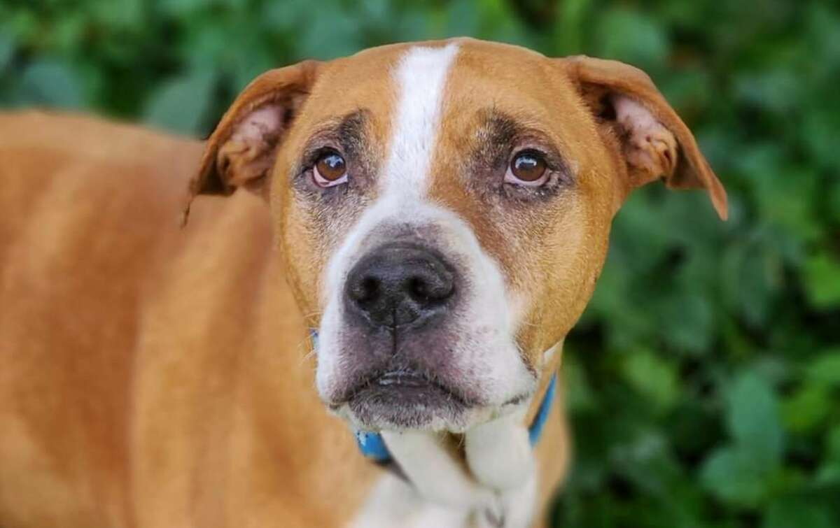 Pops, a dog found suffering from stab wounds while walking down a Tuscola County road in July, has healed from his injuries and is ready for adoption.