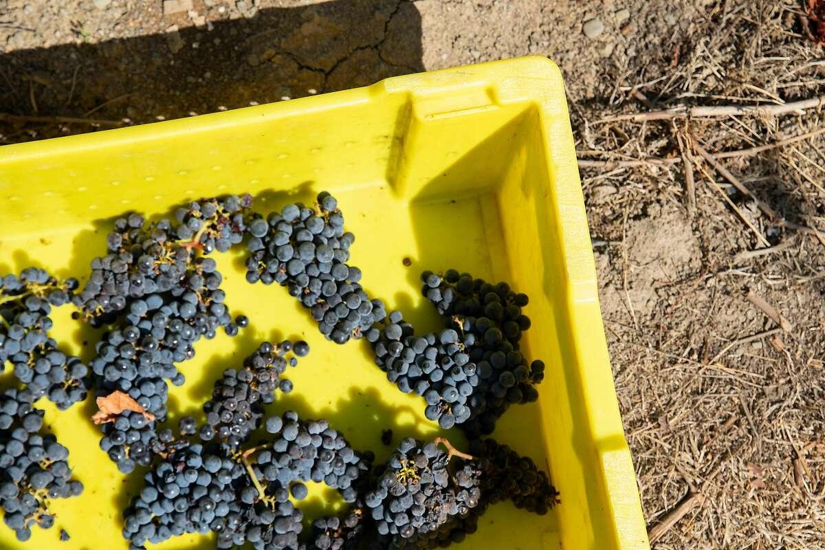 Bundles of harvested grapes sit in a bin in Oakville, Calif.